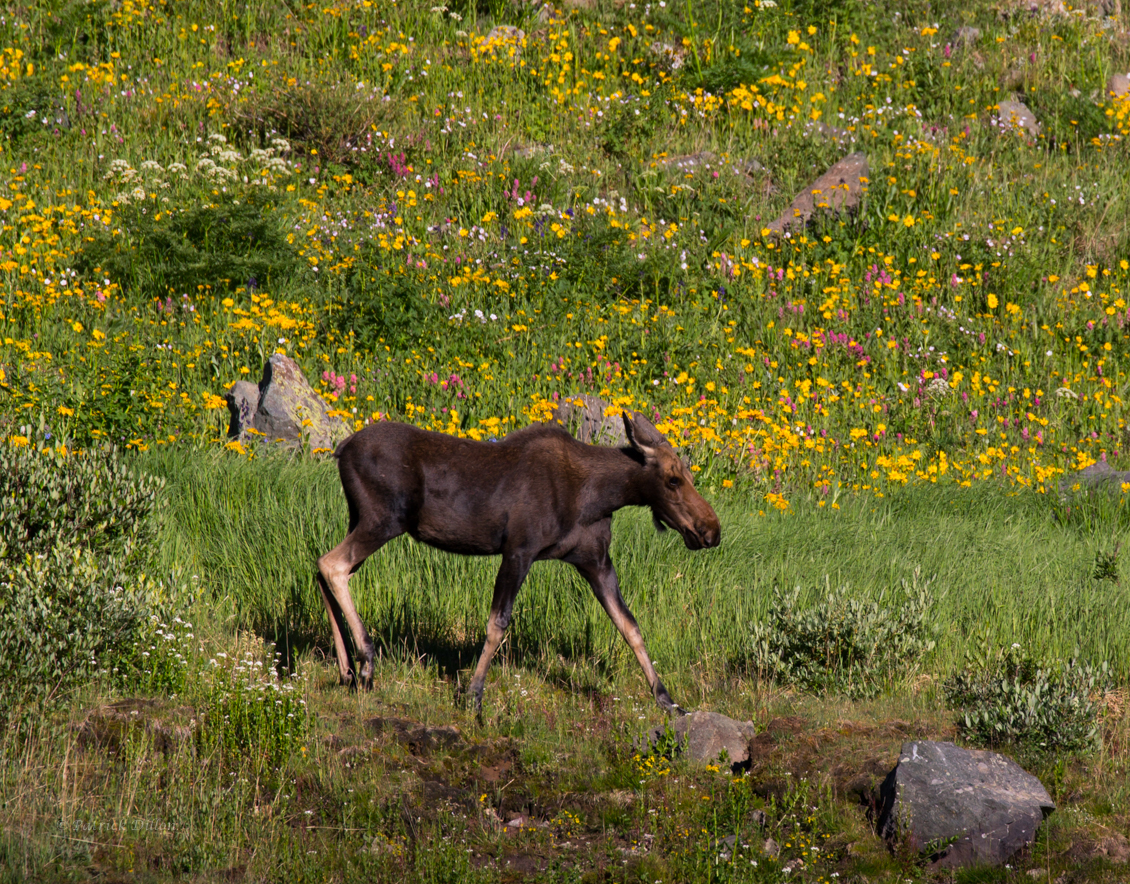 Cow moose american basin email flc-2379