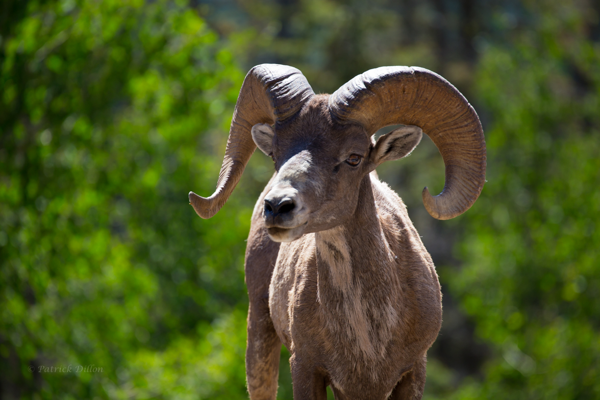 Bighorn sheep San Juan Mountians