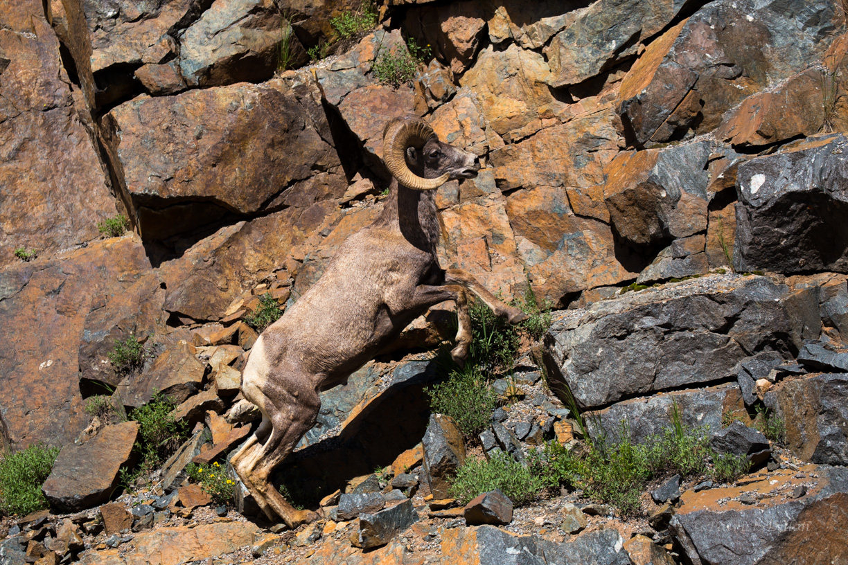 Big horn sheep San Juan Mountains