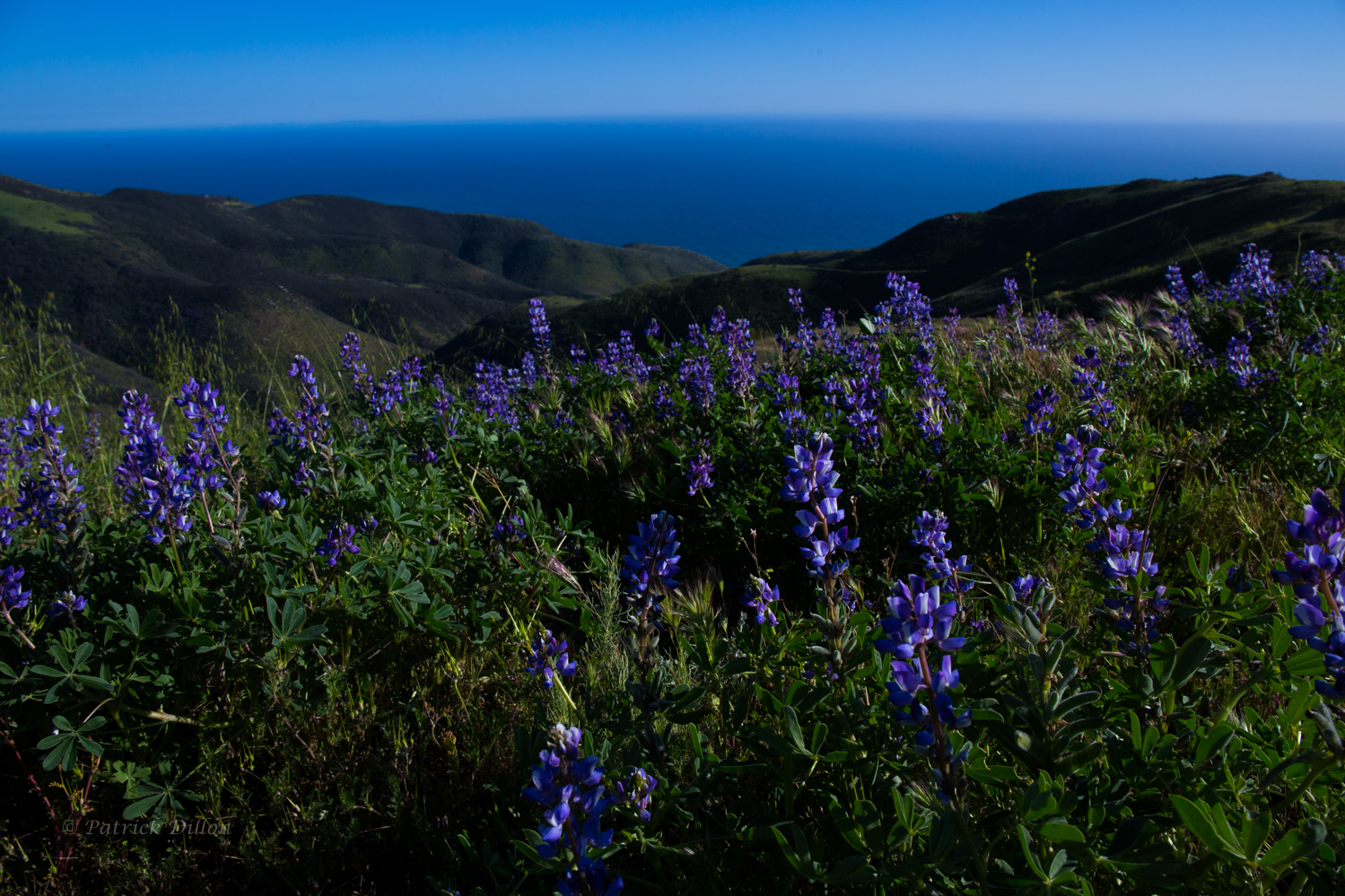 Malibu lupines blue ocean email