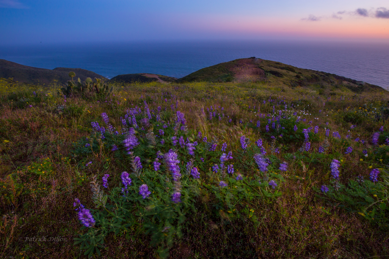 Windwhipped Malibu sunset with lupine and ocean