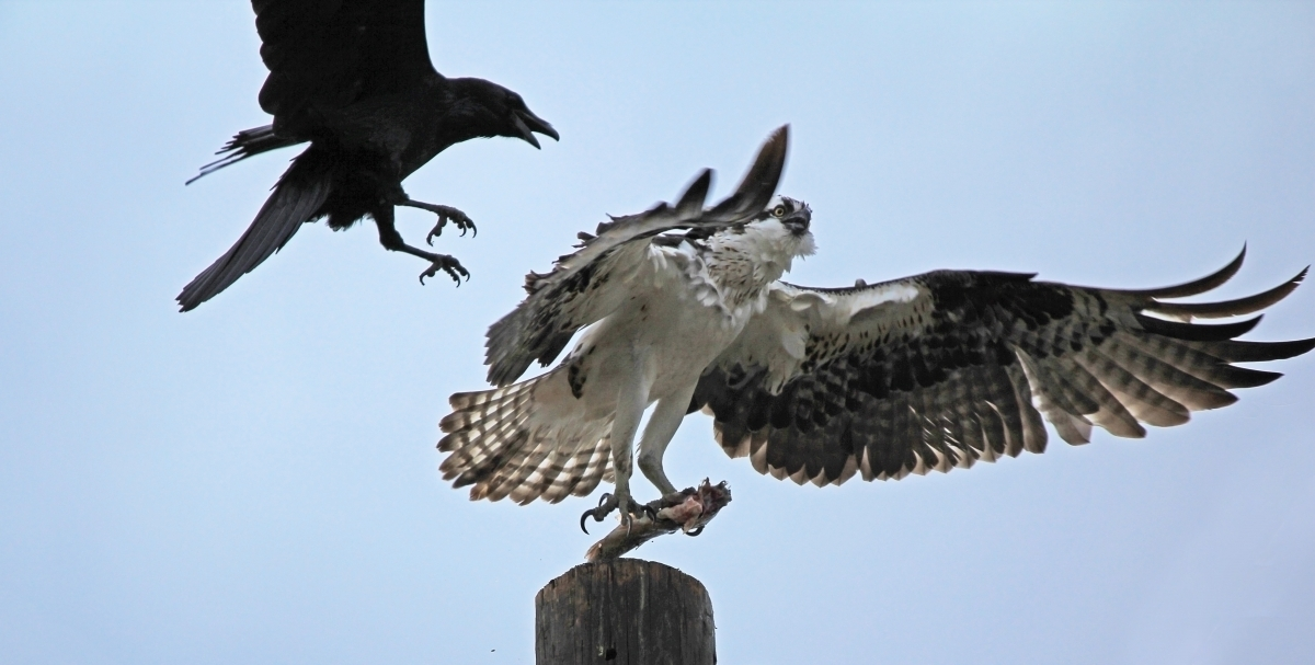 crow-attacking-Osprey-with-fish-IMG_1190-2